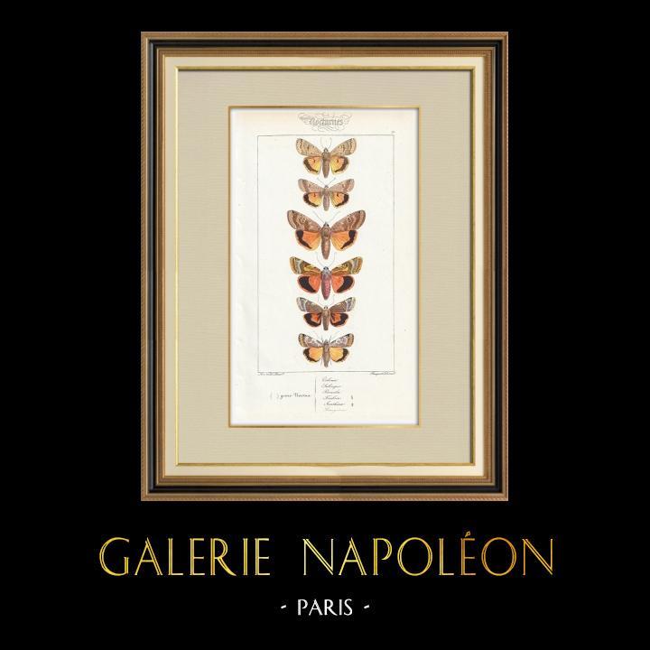 Stampe Antiche & Disegni | Farfalle dall'Europa - Noctua Orbona | Stampa calcografica | 1834