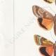 DETTAGLI 02 | Farfalle dall'Europa - Noctua Orbona