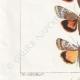 DETTAGLI 03 | Farfalle dall'Europa - Noctua Orbona