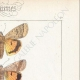 DETTAGLI 04 | Farfalle dall'Europa - Noctua Orbona