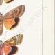 DETTAGLI 05 | Farfalle dall'Europa - Noctua Orbona