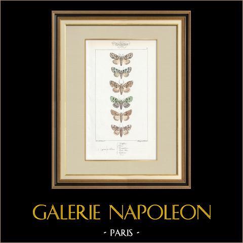 Papillons d'Europe - Noctua Ludifica | Gravure originale en taille-douce sur acier d'après A. Noël. Pauquet direxit. Aquarellée à la main. 1834