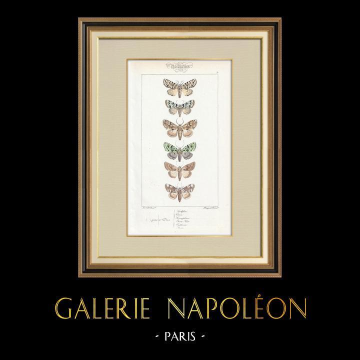 Stampe Antiche & Disegni | Farfalle dall'Europa - Noctua Ludifica | Stampa calcografica | 1834
