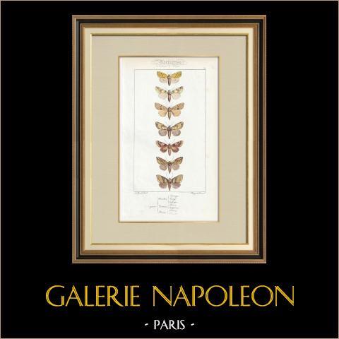 Papillons d'Europe - Hanthia - Noctua - Plusia | Gravure originale en taille-douce sur acier d'après A. Noël. Pauquet direxit. Aquarellée à la main. 1834