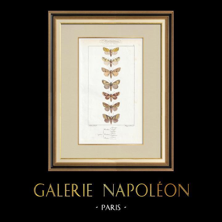 Gravures Anciennes & Dessins   Papillons d'Europe - Hanthia - Noctua - Plusia   Taille-douce   1834