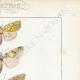 DÉTAILS 04   Papillons d'Europe - Hanthia - Noctua - Plusia