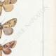 DÉTAILS 05   Papillons d'Europe - Hanthia - Noctua - Plusia