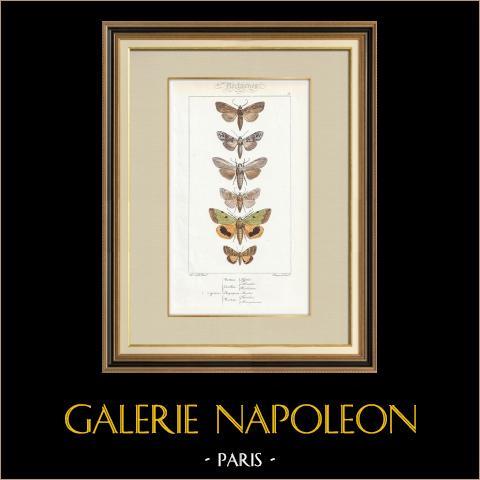 Papillons d'Europe - Noctua - Cucullia - Chrysoptera | Gravure originale en taille-douce sur acier d'après A. Noël. Pauquet direxit. Aquarellée à la main. 1834