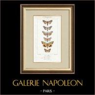 Mariposas Europeas - Noctua - Cucullia - Chrysoptera