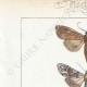DETAILS 01 | Butterflies of Europe - Noctua - Cucullia - Chrysoptera