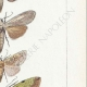 DETAILS 05 | Butterflies of Europe - Noctua - Cucullia - Chrysoptera