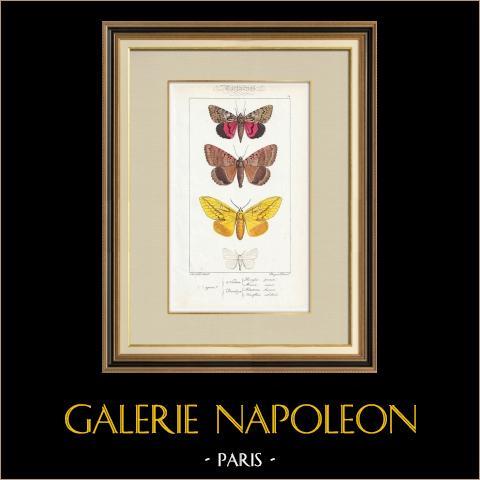 Papillons d'Europe - Noctua - Bombyx | Gravure originale en taille-douce sur acier d'après A. Noël. Pauquet direxit. Aquarellée à la main. 1834