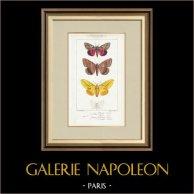 Papillons d'Europe - Noctua - Bombyx