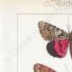 DETTAGLI 01   Farfalle dall'Europa - Noctua - Bombyx