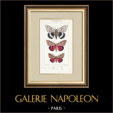 Papillons d'Europe - Noctua | Gravure originale en taille-douce sur acier d'après A. Noël. Pauquet direxit. Aquarellée à la main. 1834