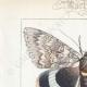 DETAILS 01   Vlinders uit Europa - Noctua