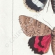 DETAILS 02   Vlinders uit Europa - Noctua