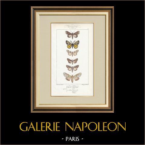 Papillons d'Europe - Noctua - Fidonia | Gravure originale en taille-douce sur acier d'après A. Noël. Pauquet direxit. Aquarellée à la main. 1834