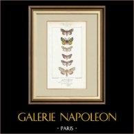 Mariposas Europeas - Noctua - Fidonia