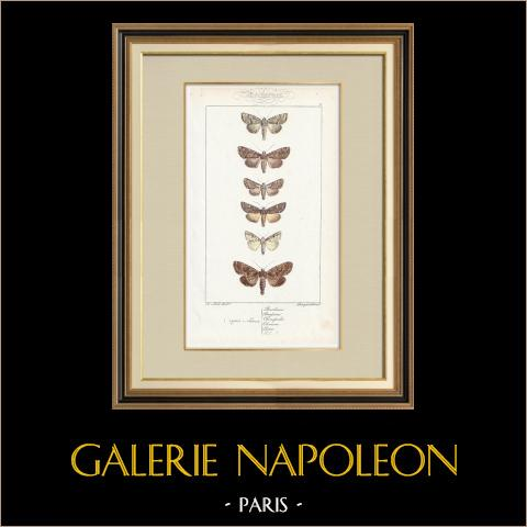 Papillons d'Europe - Noctua Basilinea | Gravure originale en taille-douce sur acier d'après A. Noël. Pauquet direxit. Aquarellée à la main. 1834