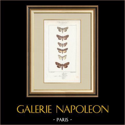 Butterflies of Europe - Noctua Basilinea | Original steel engraving after A. Noël. Pauquet direxit. Hand watercolored. 1834