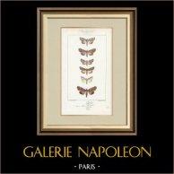 Mariposas Europeas - Noctua Basilinea