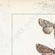 DETTAGLI 01   Farfalle dall'Europa - Noctua Basilinea