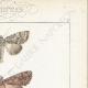 DETTAGLI 04   Farfalle dall'Europa - Noctua Basilinea