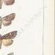 DETTAGLI 05   Farfalle dall'Europa - Noctua Basilinea