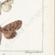 DETTAGLI 06   Farfalle dall'Europa - Noctua Basilinea