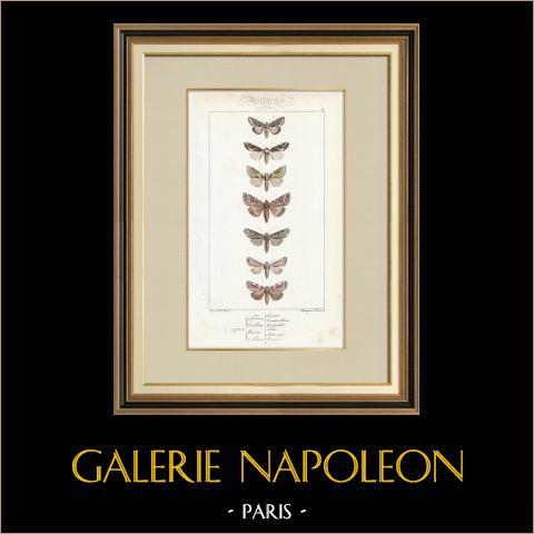 Papillons d'Europe - Noctua - Cucullia - Plusia - Noctua | Gravure originale en taille-douce sur acier d'après A. Noël. Pauquet direxit. Aquarellée à la main. 1834
