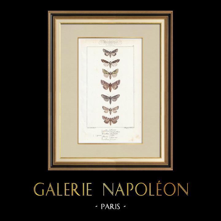 Antique Prints & Drawings | Butterflies of Europe - Noctua - Cucullia - Plusia - Noctua | Intaglio print | 1834
