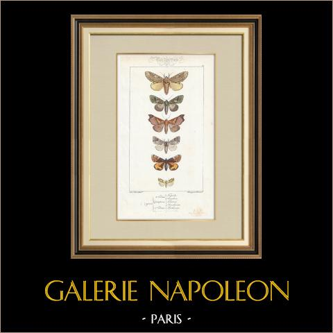 Papillons d'Europe - Noctua - Gonoptera | Gravure originale en taille-douce sur acier d'après A. Noël. Pauquet direxit. Aquarellée à la main. 1834
