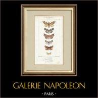 Mariposas Europeas - Noctua - Gonoptera