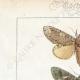 DÉTAILS 01 | Papillons d'Europe - Noctua - Gonoptera