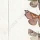 DÉTAILS 02 | Papillons d'Europe - Noctua - Gonoptera