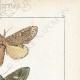DÉTAILS 04 | Papillons d'Europe - Noctua - Gonoptera