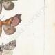 DÉTAILS 05 | Papillons d'Europe - Noctua - Gonoptera