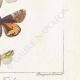 DÉTAILS 06 | Papillons d'Europe - Noctua - Gonoptera