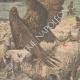 DETTAGLI 02 | Aquile attaccano le pecore vicino a Lorient - Francia - 1909