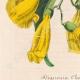 DETTAGLI 03 | Fiori - Bignonia - Bignoniaceae