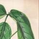 DETTAGLI 04 | Fiori - Bignonia - Bignoniaceae