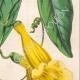 DETTAGLI 05 | Fiori - Bignonia - Bignoniaceae