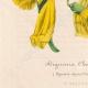 DETTAGLI 07 | Fiori - Bignonia - Bignoniaceae
