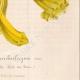 DETTAGLI 08 | Fiori - Bignonia - Bignoniaceae