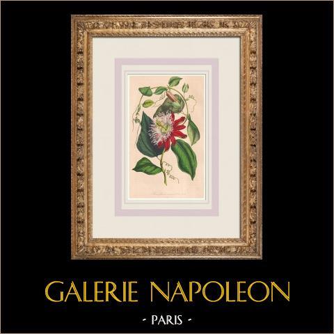 Fleurs - Passiflore - Fleur de la Passion - Fruit de la Passion - Passifloracées | Lithographie originale. Anonyme. Aquarellée à la main. 1847