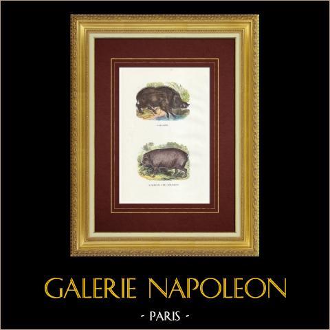 Javali - Porco - Babyrousa babyrussa | Xilogravura original. Anónima. Aquarelada a mão e realçado com goma arábica. 1842
