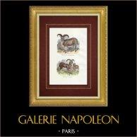 Mouflon - Mouflon à manchettes - Mouflon corse - Bovidés | Gravure sur bois originale. Anonyme. Aquarellée à la main et réhaussée à la gomme arabique. 1842