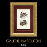Bouquetin des Pyrénées - Mouflon Argali - Bovidés | Gravure sur bois originale. Anonyme. Aquarellée à la main et réhaussée à la gomme arabique. 1842
