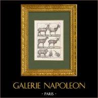 Bouc - Chèvre - Capra aegagrus - Bélier des Indes - Mouflon | Gravure sur cuivre originale sur papier vergé. Bénard direxit. 1790